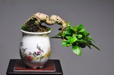 Indoor Bonsai Tree, Bonsai Plants, Bonsai Garden, Garden Trees, Trees To Plant, Potted Plants, Bonsai Mame, Terraria Tips, Bonsai Styles