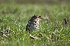 mocking-bird in the Spring, Czech Republic
