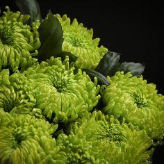 Certi Chrysant Globe Green, groen, boeket, bloemen, Certi #Bloemen, #Planten, #webshop, #online bestellen, #rozen, #kamerplanten, #tuinplanten, #bloeiende planten, #snijbloemen, #boeketten, #verzorgingsproducten, #orchideeën