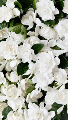 Next day delivery high end gardenia vines and blooms for sale, perfect for luxury gifts, home floral arrangements, and special occasions decoration. High Camp Supply Home page D Flowers, Flower Boxes, Spring Flowers, White Flowers, Planting Flowers, Beautiful Flowers, White Roses, Flower Wallpaper, Iphone Wallpaper
