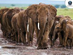 Elephants-in-line-Wallpaper