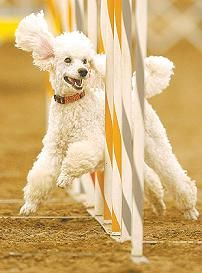 poodles love agility training