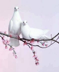 A pair of white doves