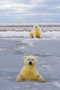 Polar bear cub swims in newly forming pack ice and peers towards the photographer as the mother sits on shore, Arctic Alaska