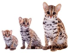 The ancestry of the Bengal cat derives from a spotted domestic cat and a small wild spotted feline called the Asian leopard cat (ALC) or Felis bengalensis. Leopard Kitten, Asian Leopard Cat, Asian Cat, I Love Cats, Cute Cats, Domestic Cat Breeds, Baby Animals, Cute Animals, Small Wild Cats