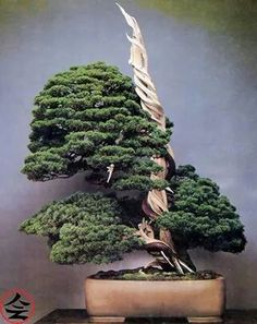 Shimpaku, 300 years old - via fb page Bonsai Kai
