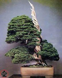 Shimpaku, 300 years old - via fb page Bonsai Kai