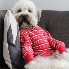 Does this shirt make my tummy look big? . . . #red #dog #wheatenterrier #wheaten #wheatensofinstagram #dogsofmsp #dogofinstagram #minneapolis #dogsofminneapolis #fluffy #puppy #adorableness #instagood #dailybarker