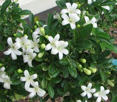 Murraya paniculata - the Mock Orange or Orange Jasmine (everyone should plant this, very fragrent, easy to care for)