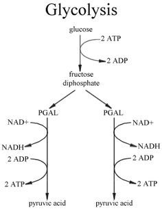 Glycolysis Diagram Google Search Biochemistry Biology Labs Med School Study