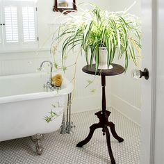 The spider plant, also known as hen and chickens is very easy to grow indoors.