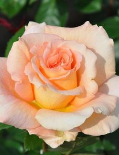 Ah, love orange roses