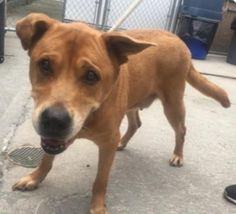 LADY - A1119604 - - Brooklyn   TO BE DESTROYED 07/29/17 **ON PUBLIC LIST** A volunteer writes: Lady is my role model! She is such graceful AND gracious older lady. She is taking the recent change life has thrown at her in stride, and is such lovely company. She walks beautifully on leash, seems housebroken, and frequently checks in with that most-beautiful face of hers. She LOVES food (a girl after my own heart!) and her toy-playing days aren't behind her yet, either.