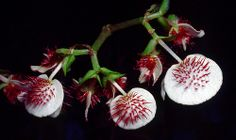 Begonia paulensis 2