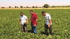 Arenales, la apuesta de sabor para tardío en La Mancha de Enza Zaden #agricultura #seeds #melon #agriculture