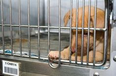 """The Animal Rescue Site is having trouble getting enough people to click on it daily so they can meet their quota of getting FREE FOOD donated every day to abused and neglected animals in their shelters.  It takes less than a minute (only about 15 seconds actually) CLICK ON THE PICTURE & CLICK ON THE PURPLE BOX """"Click Here to Give"""" - it's FREE!'. Every click gives about .6 bowls of food to sheltered dogs. You can also click daily!"""