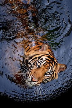 Amazing wildlife - Tiger and water photo Beautiful Cats, Animals Beautiful, Animals And Pets, Cute Animals, Funny Animals, Gato Grande, Photo Animaliere, Tier Fotos, All Gods Creatures