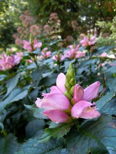 Turtlehead ~ native of southeastern United States ~ it's ideal for that shady, wet spot in your garden where nothing else seems to grow ~ happiest in wetter conditions.
