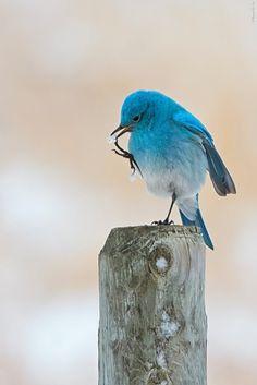 Mountain Blue Bird by Igor Alesenko