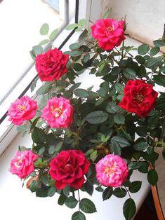 Роза миниатюрная - Красивоцветущие растения - Комнатные растения - GreenInfo.ru