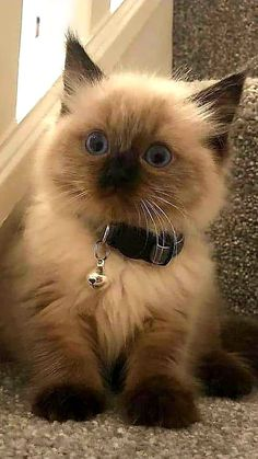 Cute Baby Cats, Cute Cats And Kittens, Cute Baby Animals, Kittens Cutest, Animals And Pets, Funny Animals, Pretty Cats, Beautiful Cats, Animals Beautiful