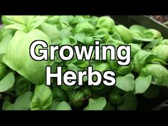 How to Grow Herbs Simply Indoors Mason Jar Herbs, Mason Jar Herb Garden, Herb Garden In Kitchen, Diy Herb Garden, Edible Garden, Garden Ideas, Growing Herbs Indoors, Growing Vegetables, Organic Gardening