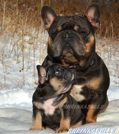 French Bulldog Photos, French Bulldog Pictures, and Frenchie Images