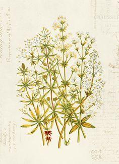 Antique Illustration, Botanical Flowers, Photo Colour, Paper Texture, All Print, Natural, Ephemera, Watercolor Paintings, Prints