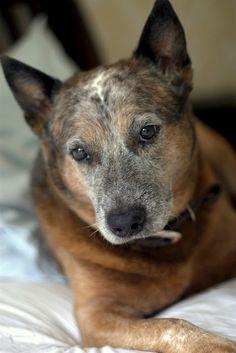 wow...this dog is beautiful! Charlie - Red / Blue Heeler (Australian) like my BJ