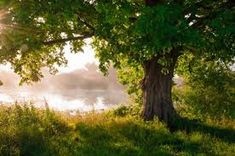 Picture of Oak tree in full leaf in summer standing alone stock photo, images and stock photography. Outdoor Walls, Indoor Outdoor, Canvas Frame, Canvas Wall Art, Pop Up Restaurant, Removable Wall Murals, Standing Alone, Outside World, Tree Wallpaper