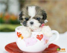 Teacup puppy.