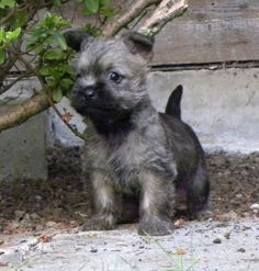 pupsretreat: Cairn Terrier Are you real?