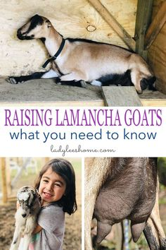 Lamancha goat information. How to raise Lamancha goats and why choose Lamancha goats. If you are looking for milk goat breed read this post! Feeding Goats, Raising Goats, Raising Chickens, Baby Chickens, Farm Animals, Cute Animals, Goat House, Goat Care, Buy Milk