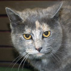 Adopt a Dilute Tortoiseshell / Domestic Medium Hair (medium coat) Cat named Chantilly from Madison, IN 47250