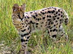 African serval (: