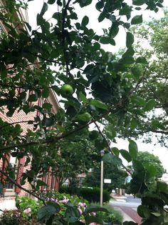 Apples on one of the Johnny Appleseed trees outside of the SF office.