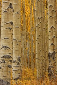 Aspen Forest - reminds me of the aspens in Pagosa Springs :)