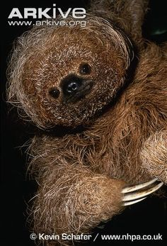 Maned three-toed sloth © Kevin Schafer The reference in the name to three-toes is misleading; all species of sloth actually have three toes on the hind limbs, but they are grouped into two genera which can be distinguished by the number of fingers on the forearm. These digits end in curved claws and are ideally shaped to hook around tree branches.