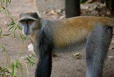 Blue monkey, Selous, Tanzania. #BlueMonkey #Selous #ZarafaTentedCamp #TrekkingBureauet #EventyrRejser #HenryRasmussen