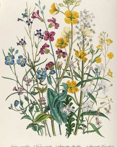 Forget-me-nots And Buttercups, Plate 13 From The Ladies Flower Garden, Published. Forget-me-nots And Buttercups, Plate 13 From The Ladies Flower Garden, Published 1842 Colour Litho Poster by Jane Loudon. Illustration Botanique, Illustration Blume, Botanical Illustration, Garden Illustration, Vintage Botanical Prints, Botanical Drawings, Vintage Flower Prints, Botanical Flowers, Botanical Art