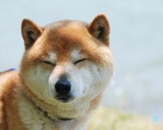 柴犬, Shiba Inu, ~lisa