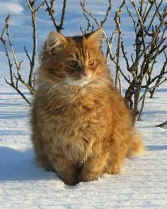 Eaglescar // ginger and white tabby tom; brother to Leafstorm and Sorrelheart, father to Mountainfrost, Dawnlight, Berryheart, and Blizzardstorm