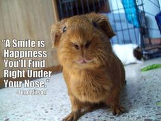 We've all seen dog shaming and cat shaming but guinea pigs? Cavy owners know that these little critters can have just as much attitude as the biggest dog or cat out there. Funny Animal Memes, Animal Quotes, Funny Animal Pictures, Baby Guinea Pigs, Guinea Pig Care, Hamsters, Rodents, Chinchillas, Guinea Pig Quotes
