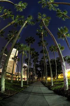 Palms at night in Tampa, Florida. (I love to take walks here. It's beautiful!)
