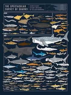 The Spectacular Survey Of Sharks Pop Chart - The Spectacular Survey Of Sharks Regular Price This Diagram Of Deepwater Denizens Features Nearly Species Of Sharks Youre Going To Need A Bigger Wall Finishing Options Species Of Sharks, Animal Species, Aquariums, Fish Chart, Save The Sharks, Scuba Diving Quotes, Shark Facts, Whale Print, Kunst Poster