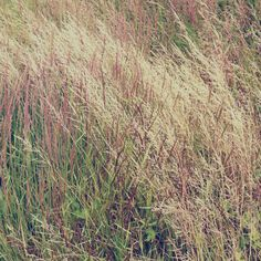 Grasses on pinterest grass ornamental grasses and for Wild ornamental grasses