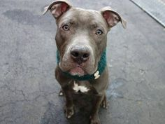 GONE 01/12/15 Manhattan Center -P. My name is JAMIE. My Animal ID # is A1024000. I am a male gray pit bull mix. The shelter thinks I am about 2 YEARS old. For more information on adopting from the NYC AC&C, or to  find a rescue to assist, please read the following: http://urgentpetsondeathrow.org/must-read/