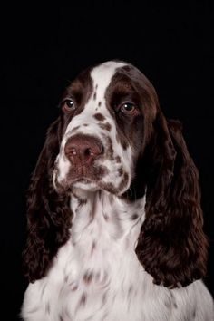 """Click visit site and Check out Cool """"English Springer Spaniel"""" T-shirts. This website is excellent. Tip: You can search """"your name"""" or """"your favorite shirts"""" at search bar on the top. Springer Spaniel Puppies, English Springer Spaniel, Spaniel Dog, Field Spaniel, Spaniel Breeds, Chien Springer, I Love Dogs, Cute Dogs, Dog Grooming Business"""