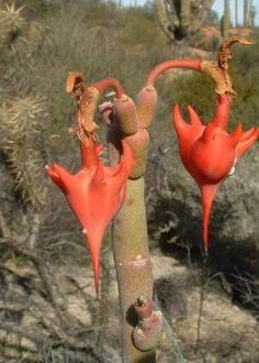 Amazing Unusual Plants To Grow In Your Garden Weird Plants, Unusual Plants, Rare Plants, Exotic Plants, Cool Plants, Cacti And Succulents, Planting Succulents, Cactus Plants, Planting Flowers