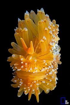 The Mirror Nudibranch by Filippo Subegoist